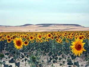 Zonnebloemen in de buurt van Hontanas...